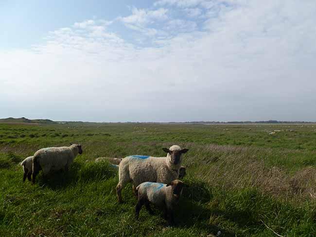 Des moutons dans les prés salés sur la côte des havres