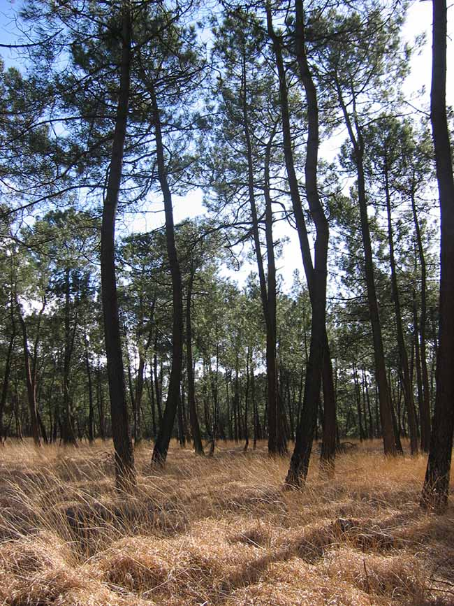 Forêt de pins maritime dans les landes de Lessay