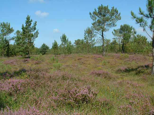 Payasage de savanne dans les landes de Lessay