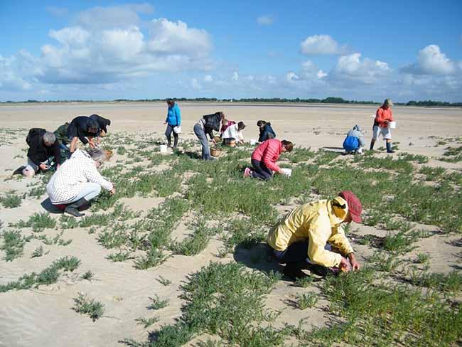 Cueillette de salicornes au havre de saint Germain sur Ay