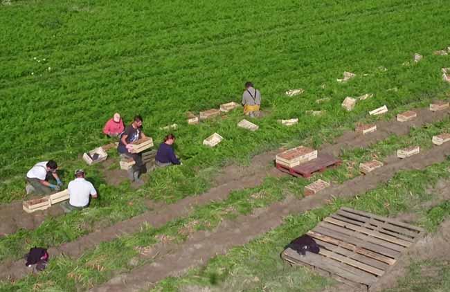 Les mielles, culture de la carotte des sables